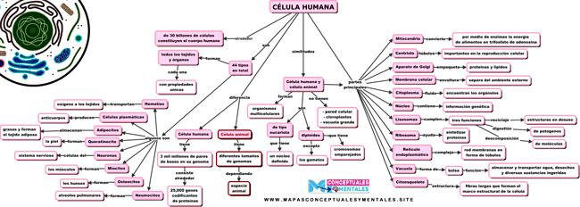 Mapa conceptual de la célula humana