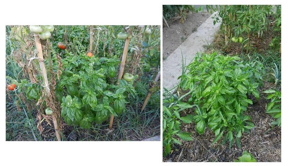 plantas aromaticas y medicinales en el huerto el balcon