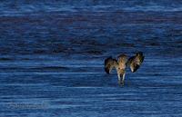 Osprey catching fish, PEI, Canada - by Matt Beardsley