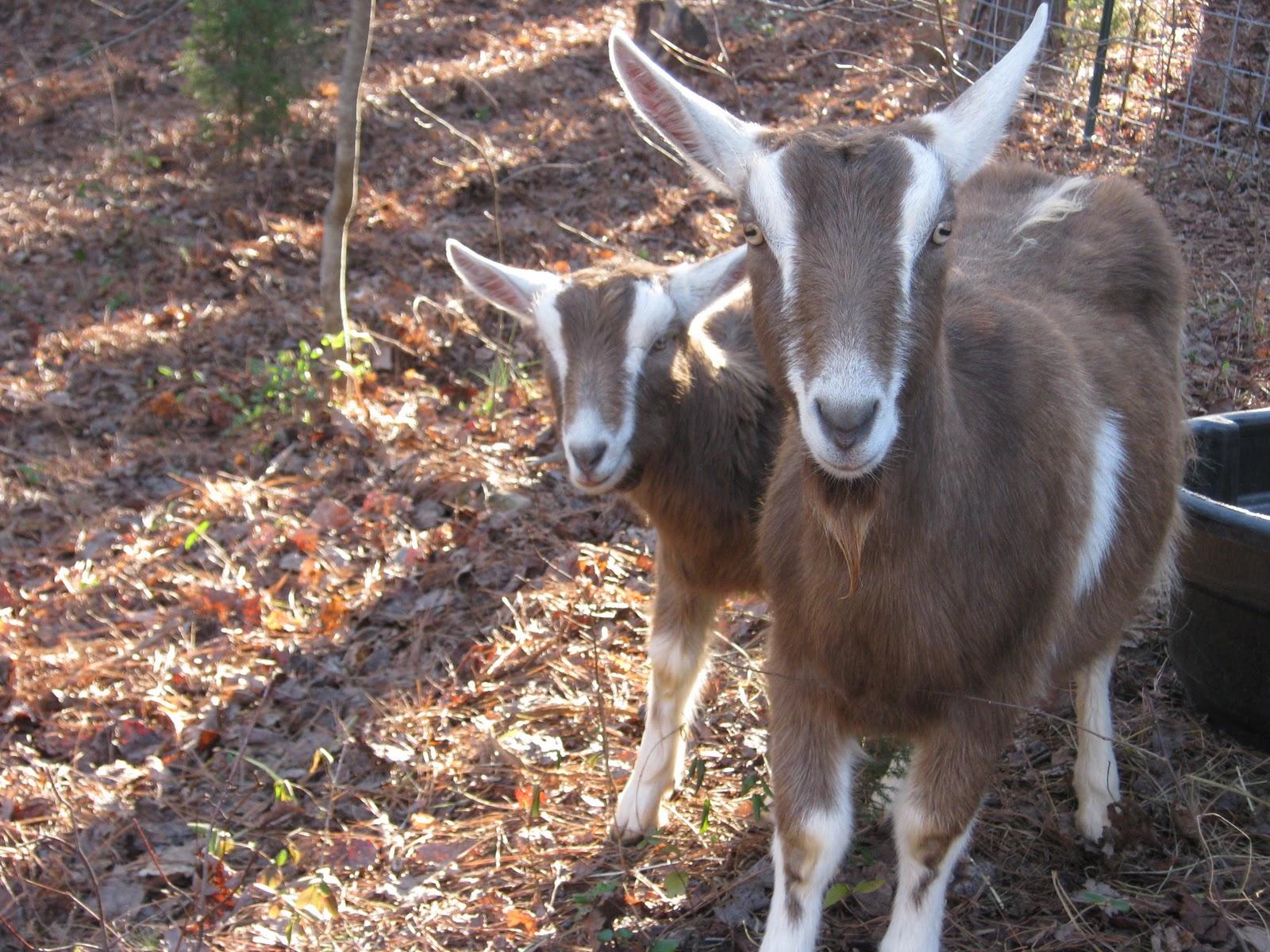 Cute Cat Love Wallpaper Toggenburg Goats