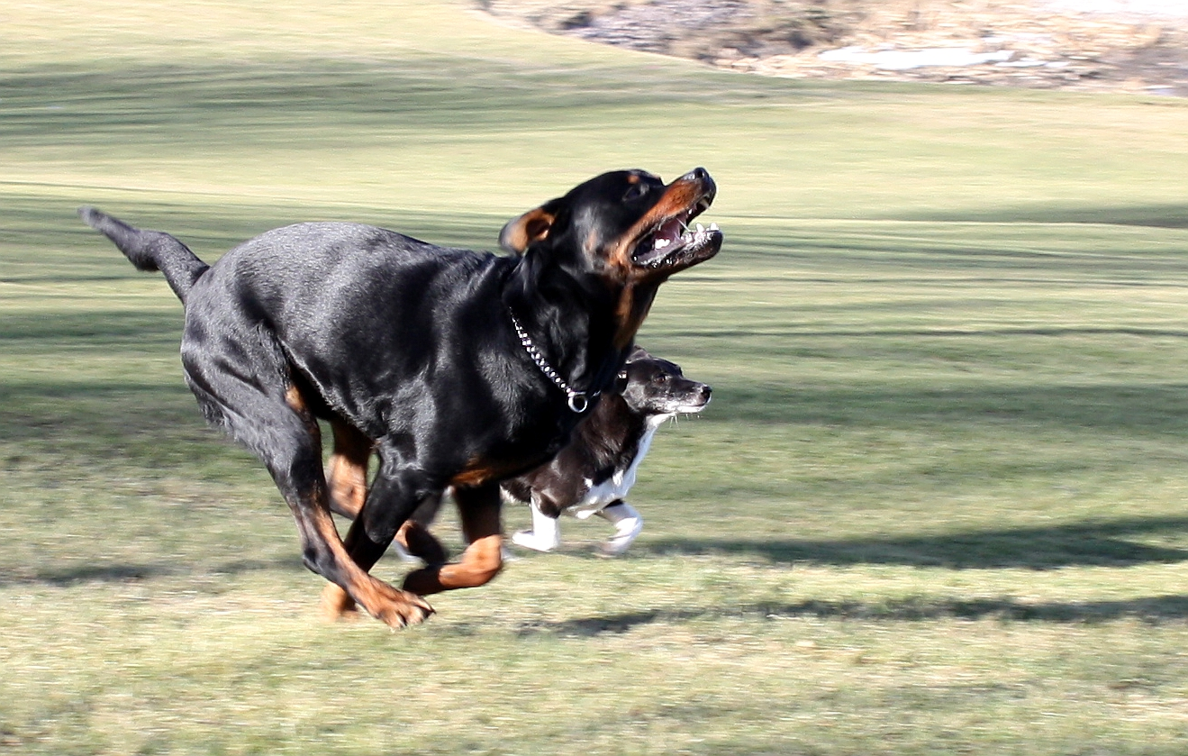 How Fast Can A Rottweiler Run The Rottweilers
