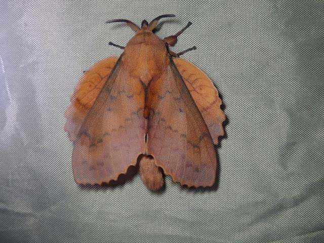 Gastropacha quercifolia