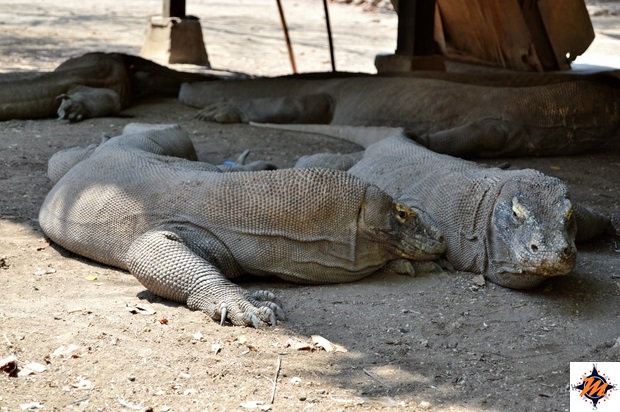 Parco Nazionale di Komodo, Rinca. Draghi di Komodo