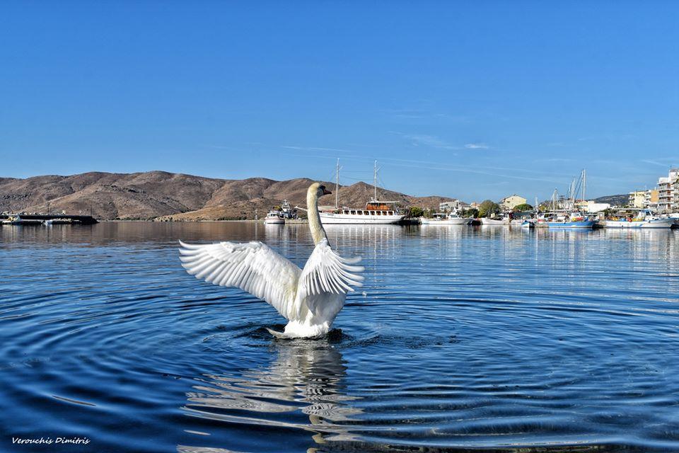 Κάρυστος: Όπως θα δείτε στις φωτογραφίες του φωτογράφου Δημήτρη Βερούχη τα μεγαλοπρεπή πτηνά βρίσκονται λίγα μέτρα από την ακτή. 