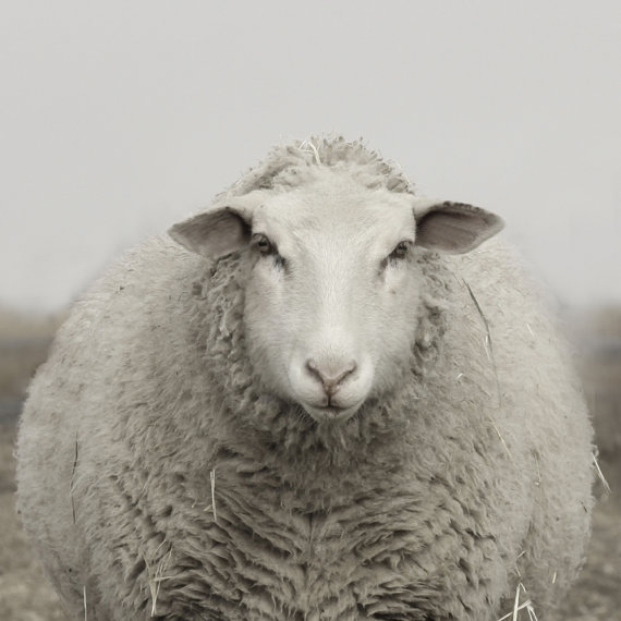 Pregnant wooly white sheep by Lucy Snowe