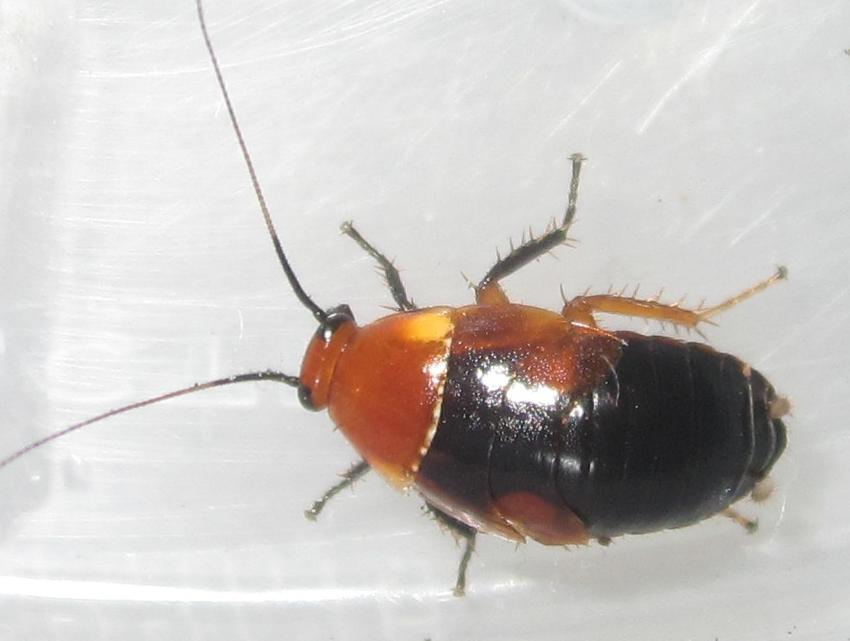 Hemithyrsocerapalliata%25239.JPG