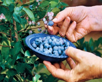 How to Grow Blueberries From Seed