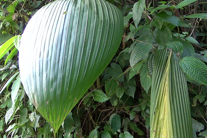Dlium Palm grass (Molineria capitulata)
