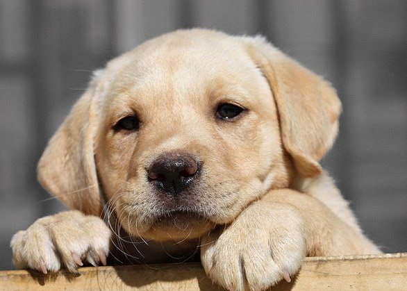 Yellow Lab Puppies Lol Picture Collection