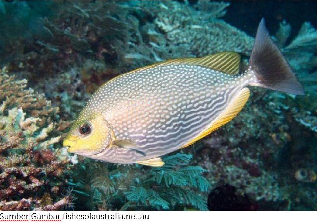 Jenis Ikan Laut Terlengkap Bang Zaki