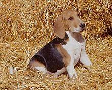 Artois Hound-pets-dogs-dog breeds