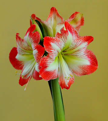 Durham council of garden clubs amaryllis belladonna for Bulbes amaryllis conservation