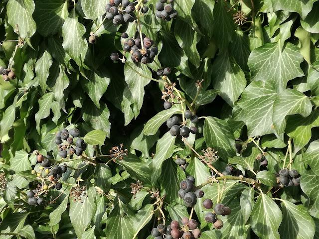 owoce bluszczu