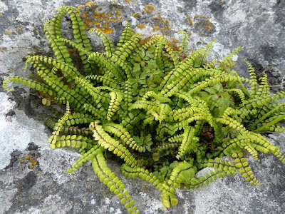 Maidenhair Spleenwort (Asplenium trichomanes)
