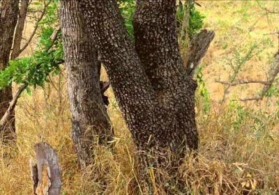 Kamuflase Leopard