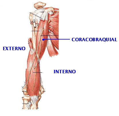 Musculos del brazo | Sistema muscular
