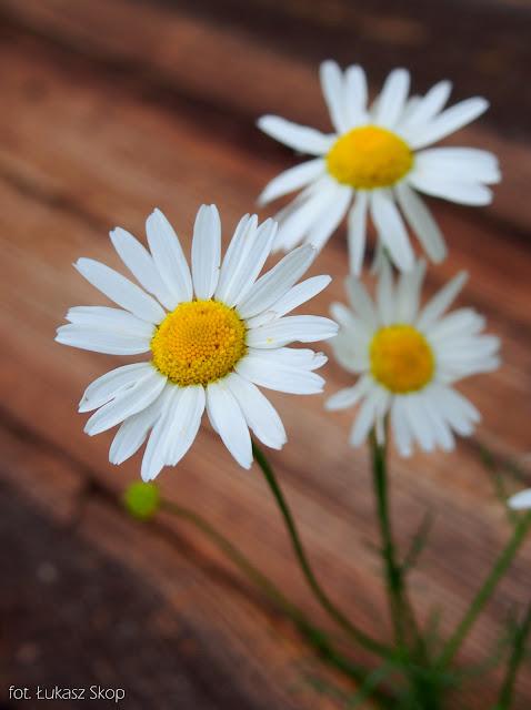 jadalne kwiaty rumianku