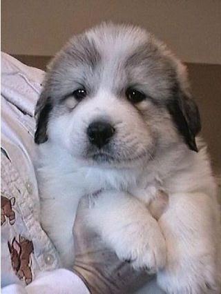 See more Great Pyrenees puppy http://cutepuppyanddog.blogspot.com/