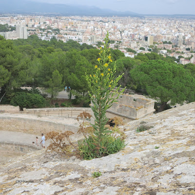 false yellowhead plant at Las Palmas, Mallorca