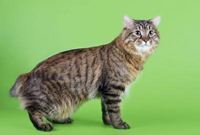 Asal usul Kucing American Bobtail