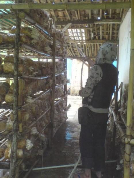Cara Budidaya Jamur Tiram Untuk Pemula - gambar jamur merawat baglog