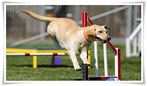 dog agility trials near me