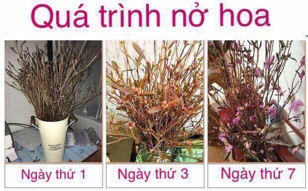 Hoa do quyen ngu dong tai Thanh Xuan