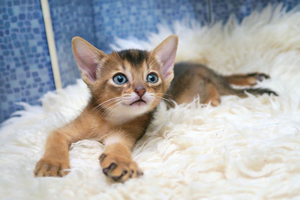 Top 5 des races de chats hypoallergéniques