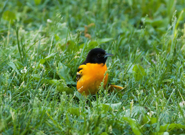 Baltimore Oriole - Central Park, New York