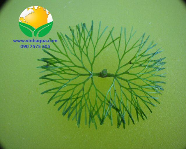 Cách nhận dạng cây thủy sinh La Hán Xanh