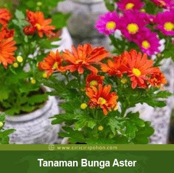 ciri ciri pohon bunga aster