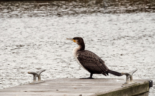 Photo of a juvenile cormorant in the marina