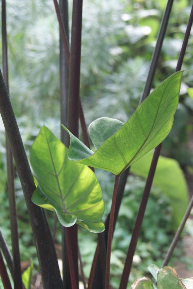 Colcasia junge Blätter