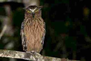 Jenis Makanan Buffy Fish Owl