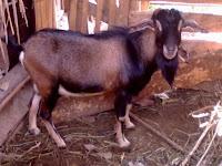 BARU TAU, 13 Jenis Kambing Ternak ini Ada di Indonesia