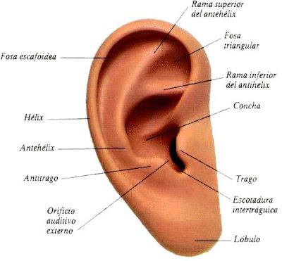 Dibujo de la oreja del cuerpo humano indicando sus partes