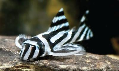 Ikan Sapu-Sapu / Pleco Hypancitrus Zebra ( L046, L098, L173 )