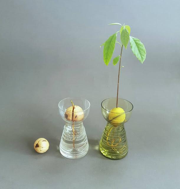 Avokádová váza