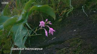 Gladiolus  Microcarpus