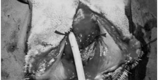 Teknik Operasi Episiotomy pada Hewan (Bedah Genitalia)