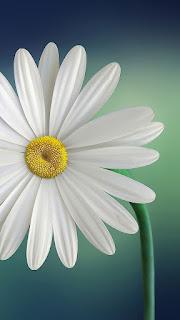 wallpaper hd bunga putih