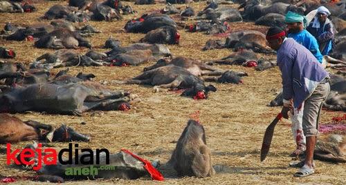 Ritual Bunuh Hewan di Nepal