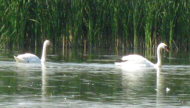 Фото Виталия Бабенко: лебеди