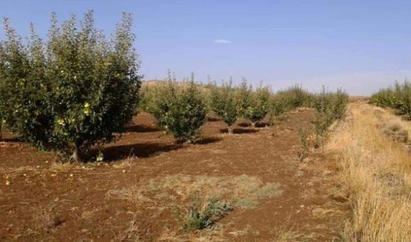 السويداء تحتل المرتبة الأولى بالمساحة المزروعة بالتفاح في القطر