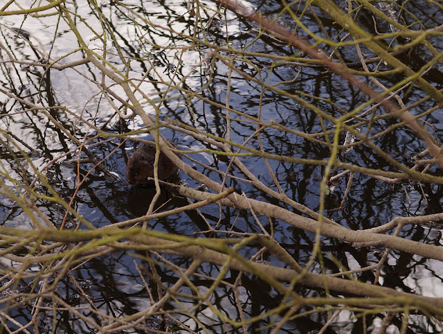 water vole on the river bank Norfolk