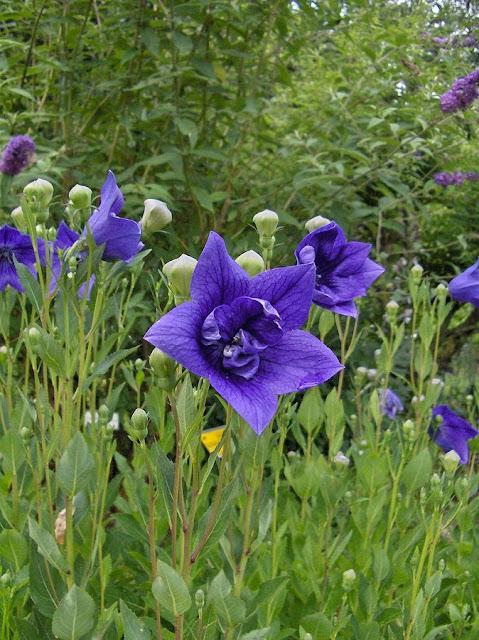 Hoa cây CÁT CÁNH - Platycodon grandiflorum - Nguyên liệu làm thuốc Chữa Ho Hen