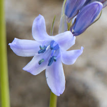 http://wild-flowers-of-europe.blogspot.nl/2014/10/hyacinthoides-hispanica.html