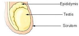 Macroorchidism - Pictures, Testes Size, Symptoms, Causes, Treatment