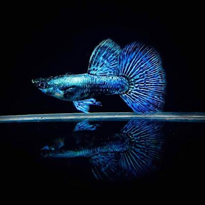 Guppy Blue Dragon