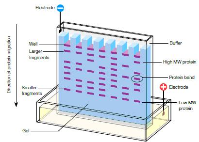 Agarose and Polyacrylamide Gel Electrophoresis Matrices